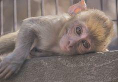 Baby Monkey posing in Monkey Temple Jaipur India