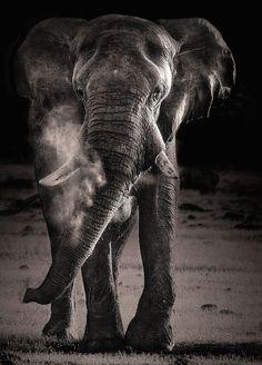 ♂ wildlife photography black and white African Elephant (Loxodonta africana) flicking up dust #elephant #African #wildlife
