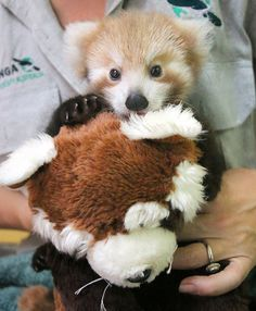 This adorable red panda cub can't cope without the stuffed toy that looks JUST like her
