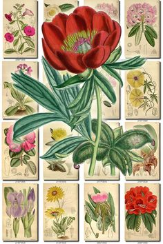 FLOWERS-90 Collection of 131 vintage images Paeonia Petunia