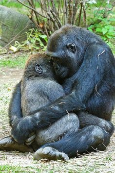"Mother Gorilla Hugs Baby by Evan Animals on Flickr. ""A mother gorilla gently hugs its 3 year old baby. One of the best things about watching the great apes is to capture a moment like this when they do something so human like."""