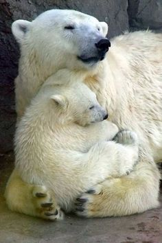 Polar bears There's nothing as precious as the unconditional love between a Mama and her lil one. This baby looks so peaceful and content.
