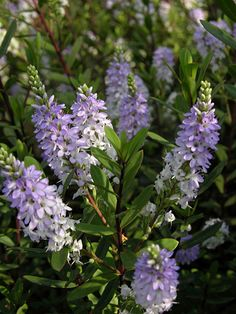 Hebe 'Pascal' - Compact evergreen shrub, foliage changes from green to burgundy during the colder months. Summer spikes of lavender-blue flowers in early summer. Also good choice for a pot. 1 m spread. Garden Shrubs, Flowering Shrubs, Garden Plants, Seaside Garden, Coastal Gardens, Evergreen Shrubs, Trees And Shrubs, Mediterranean Garden, Back Gardens