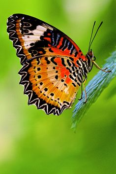Leopard Lacewing Butterfly by Kenneth Er