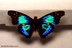 The Sparkling Cherub (Doxocopa cherubina) is an amazing little butterfly. If it was the size of a big Blue Morpho it would likely be one of the most popular butterflies in the world.