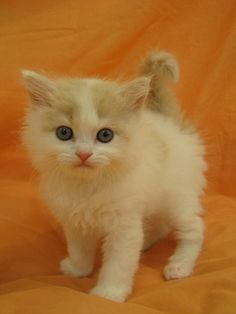"""How much does a American Wirehair kitten cost?  Click the picture to read  ♥✮✮""""Feel free to share on Pinterest"""" ♥ღ www.CATSANDME.COM"""