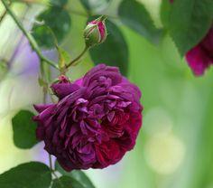 Gallica Rose: Rosa 'Canary Island' (origins unknown)