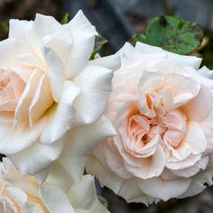 Penny Lane - Klatrerose | Hageglede.no |Nettbutikken for den hageglade Penny Lane, Den, Planters, Flowers, Plant, Window Boxes, Royal Icing Flowers, Flower, Florals