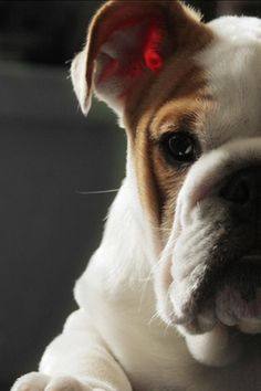 The major breeds of bulldogs are English bulldog, American bulldog, and French bulldog. The bulldog has a broad shoulder which matches with the head. Mastiff Puppies, Dogs And Puppies, Doggies, I Love Dogs, Cute Dogs, Bull Dog Ingles, Giant Dog Breeds, Cute Bulldogs, Animal Kingdom