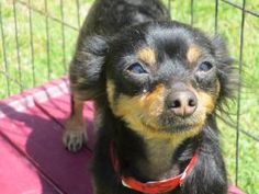 SATURN is an adoptable Chihuahua Dog in Southampton, NY. You can fill out an adoption application online on our official website. Approx 2-3 Year old Chihuahua (Mixed) My name is Saturn... I'm a gorge...