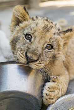 A cub and his bowl #lion