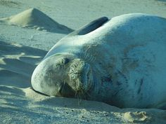 Kauai, Hawaii - monk seal hanging out on the beach.  Doesn't she look sooooo comfortable!