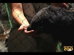 Binturong and Keeper Chat at Brookfield Zoo: Watch Melon the Binturong climb a tightrope as she interacts with her zoo keeper Melissa.