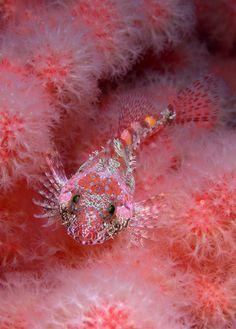 Sculpin in soft coral