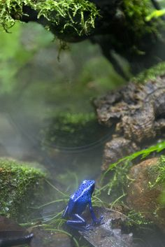 Blue Poison Dart Frog (South America).