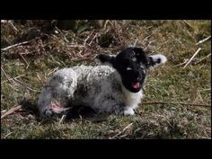 Bleating Baby Lamb. I you're having a crappy day, this'll make it better