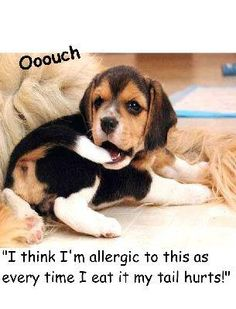 Too funny..but so typical for a beagle..