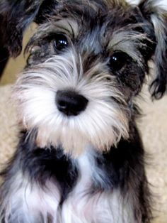 This is Murphy what a sweet and super adorable mini schnauzer is he, his face is so so cute✨✨