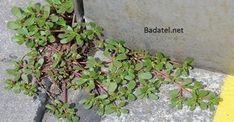 Purslane (Portulaca oleracea) grows commonly as a weed in most gardens. You may also have seen it in your garden. The plant comes from Persia and India and is considered to be weed in many countries and it is discarded along with other weeds and. Portulaca Oleracea, Wild Edibles, Edible Plants, Edible Flowers, Healing Herbs, Wound Healing, Cool Plants, Medicinal Plants, Omega 3