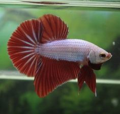 A stunning white and red halfmoon! Great fins on this guy! #betta #bettacommunity #aquatics #bettaboxx #halfmoonbetta