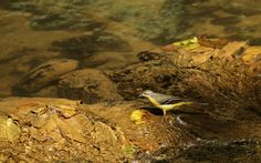 Yellow wagtail Corbet National Park Bird Images