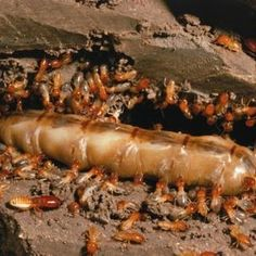 Termites will eat the wood in your home, causing a lot of damage