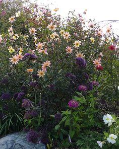 Trachelium caeruleum Hamer Pandora Annies Annuals