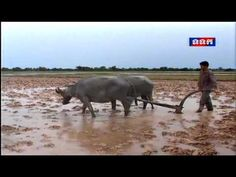 Khmer Agriculture News, Rice Farming Cambodia