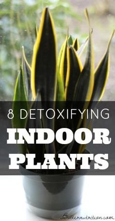 8 Detoxifying Indoor Plants that Act like Air Filters | Butter Nutrition