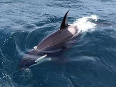 Orca encounter at the north end of Cava in Scapa Flow, Orkney Islands, Scotland by divers on the MV Valkyrie.