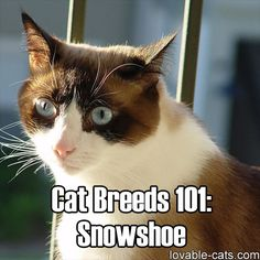 The Snowshoe cat is a rare cat breed named after its four white paws. Click the … The Snowshoe cat is a rare cat breed named after its four white paws. Click the link to learn more about this very sociable cat! Snowshoe Siamese, Siamese Cats, Cats And Kittens, Kitty Cats, Rare Cat Breeds, Rare Cats, Pet Breeds, Cat Breeds With Pictures, Most Popular Cat Breeds