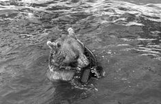 Wojtek, the Soldier Bear