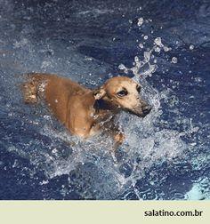 Swimming Italian Greyhound at Salatino  #dog #salatino #clubesalatino #canil #perro #dogs #cute #love #nature #animales #dog #ilovemydog #ilovemypet #cute #galgos #greyhound #galgoespanhol #galgo