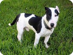 Fort Myers, FL - Bull Terrier Mix. Meet SPUD, a dog for adoption…