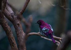 A Violet Starling at the Zoo (Cinnyricinclus leucogaster) [OC] [4955 x 3508]
