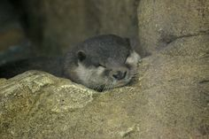 Otter has found a cozy spot for a quick nap - June 6, 2015