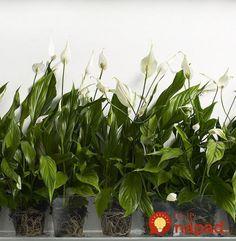 Nadmerná vlhkosť v byte?  Zabezpečte si niektorú z týchto 5 rastlín, dokážu divy!