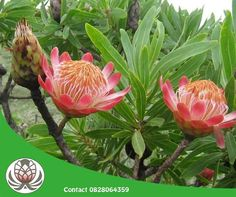 Protea caffra (Sugar Bush) is an evergreen shrub or small tree up to 10 feet m) tall, with a somewhat rounded crown. The grey-green. Protea Flower, Evergreen Shrubs, Planting Flowers, Deer Resistant Plants, Plants, Sugar Bush, Growing Plants, Flowers, Protea Plant