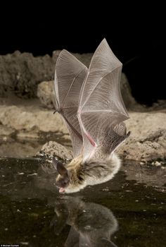 agile bats hunting moths and drinking from pond