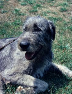 pictures+of+irish+wolfhounds | Irish Wolfhound | Dog Breeds at myPetSmart.com
