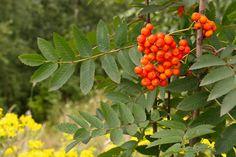 Jarzębina, Liście, Owoce Rowan, Berries, Herbs, Fruit, Nature, Plants, Food, Autumn, Education