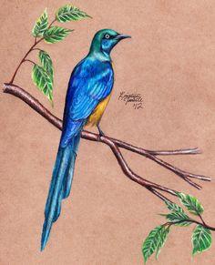 Golden-Breasted Starling by KristynJanelle on deviantART