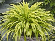 Hosta Curly Fries is a charming, space saving shade loving groundcover  zone 5