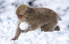 Snow Monkeys in Japan.............http://i.telegraph.co.uk/multimedia/archive/01546/snowball_1546337i.jpg