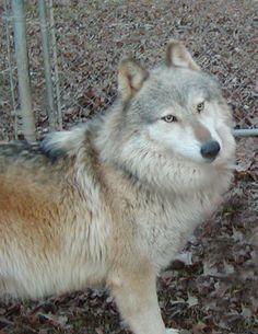 Wolf-hybrid Dog - Google Search
