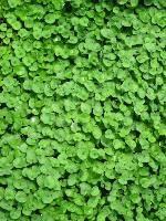 Landcraft Environments Wholesale Tropical Plants for Temperate Climates: Underwear Plants