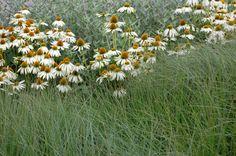 Een simpele combinatie van grassen en echinacea Perennials, Garden Design, Perennial Plant, Plants, Seeds, Landscape Designs, Plant, Perennial, Planets