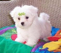Teacup Maltese- I may get one of these when Jon gets out of school instead of a teacup morkie.