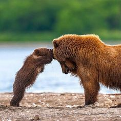 @Natgeo.Wildlife Grizzly Bear Mother And Cub Playing | Photography By © Sergei Ivanov #WildlifePlanet