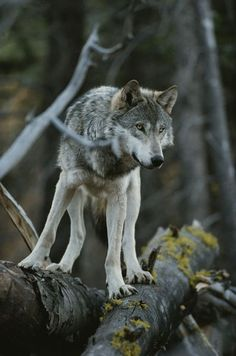 'National Geographic: A gray wolf, Canis lupus, walks along a fallen tree.' by National Geographic on artflakes.com